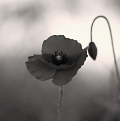 aviary poppy (SS) Tags: ss pentax k5 smcpentaxm50mmf17 marche fabriano aviary blemish sharpen monochrome warmth focus spring 2016 squareformat bokeh depthoffield flower