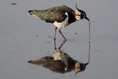 (wolfskin17) Tags: photography canon 2016 england lancashire leightonmoss rspb rspbleightonmoss wildlife nature birding bird lapwing
