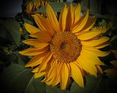 . . . (Ebrahim Baraz) Tags: براز سفیدسنگفریمان سفیدسنگ فریمان آفتابگردان ابراهیمبراز sunflower baraz