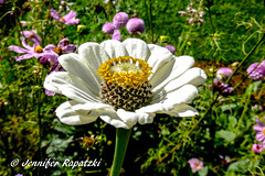 White Zinnia (Bernsteindrache7) Tags: summer panasonic lumix flora fauna flower color garden bloom blossom blume outdoor landscape park