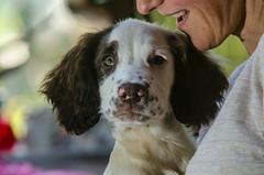Yep I am liking it here ! (TrevKerr) Tags: dogportrait gundog spaniel springerspaniel englishspringerspaniel pup puppy