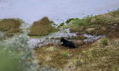 Andean (spectacled) bear running across swampy moorland (Paul Cottis) Tags: ecuador 9 august 2016 paulcottis mammal bear spectacled shortfaced andean papallacta