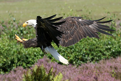 Eagle Incoming (Ger Bosma) Tags: 2mg185682filtered amerikaansezeearend witkopzeearend haliaeetusleucocephalus baldeagle americanbaldeagle weiskopfseeadler pygarguetteblanche guilacalva guilaamericana guiladecabezablanca eagle seaeagle landing incoming wings talons speed