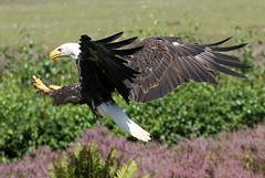 Eagle Incoming (Ger Bosma) Tags: 2mg185682filtered amerikaansezeearend witkopzeearend haliaeetusleucocephalus baldeagle americanbaldeagle weiskopfseeadler pygarguetteblanche guilacalva guilaamericana guiladecabezablanca eagle seaeagle landing incoming wings talons speed