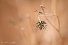 Dry Star (gjaviergutierrezb) Tags: dry weird star plants