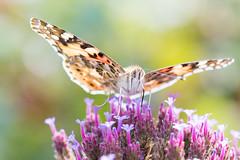 Butterfly (janeway1973) Tags: macro makro distelfalter vanessa cardui butterfly schmetterling insect insekt