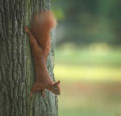 Going down (hedera.baltica) Tags: squirrel redsquirrel eurasianredsquirrel wiewirka wiewirkapospolita sciurusvulgaris