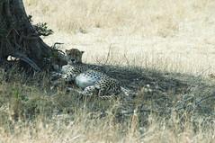 I see a pretty cheeta (jhderojas) Tags: cheeta kenia masai mara