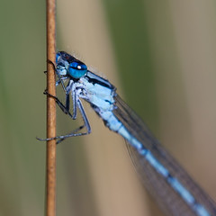 Posbank (TIF Fotografie) Tags: nature arnhem nederland zomer libelle dieren waterjuffer posbank dauw weer natuurenlandschap ingridfotografie