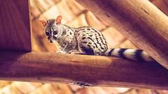Resident genet (flamed) Tags: africa travel pet cute tanzania furry cabin tail country safari staring woodenbeams eastafrica genet ndutu mouselike residentpet