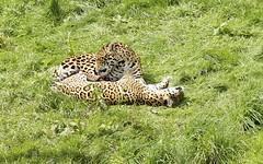Jaguars playing (Rovers number 9) Tags: uk summer england minolta sony july 2012 a65 southlakesanimalpark minoltaaf100200f45 july2012 sonya65