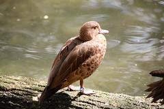 Flora & Fauna / Pato Cerceta Castaa -- (--ecantu-- / Eduardo Cantu) Tags: photography teal chestnut anas castanea ecantu eduardocantu