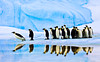 Taking the Plunge, Snow Hill Island, Antarctica (Geoff Edwards) Tags: reflection antarctica iceberg emperorpenguins blueiceberg snowhillisland