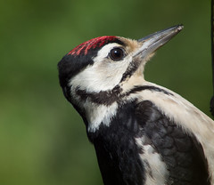 DSCF7897 Great spotted woodpecker (juv.) (Steve_Herring) Tags: nature birds wildlife greatspottedwoodpecker thewonderfulworldofbirds fujifilmhs10 fujifilmfinepixhs10 highqualityanimals steveherringphotography