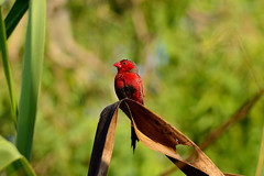 Crimson Finch - Enjoying the sunlight (Shimal11) Tags: crimsonfinch blinkagain nikond5100