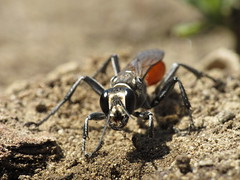 Wasp 02 (siamesepuppy) Tags: california macro canon bug insect wasp critter arthropoda invertebrate entomology arthropod g12 dcr250 raynox