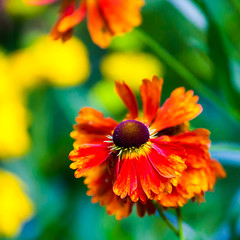 A splash of colour (Steve-h) Tags: park flowers ireland dublin orange green art tourism nature yellow canon lens eos design europe zoom bokeh blossoms tourists telephoto handheld recreation horticulture citycentre aerlingus ststephensgreen recreational aperturepriority helenium steveh canonef100400mmf4556lisusm 100mm400mm spotmeteringmode canoneos5dmkii canoneos5dmk2 rememberthatmomentlevel4 rememberthatmomentlevel1 rememberthatmomentlevel2 rememberthatmomentlevel3 rememberthatmomentlevel7 rememberthatmomentlevel9 rememberthatmomentlevel5 rememberthatmomentlevel6 rememberthatmomentlevel8 rememberthatmomentlevel10