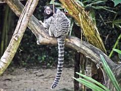 Mico (Maz Parchen) Tags: paran brasil mico sagui mataatlntica parquenacionaldoiguau callithrixpenicillata maz micoestrela saguidetufospretos mazparchen