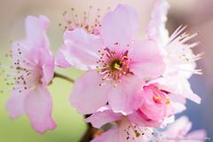 Sakura (Thelma Gatuzzo (back, trying to catch up)) Tags: flower fleur garden blossom sopaulo ngc flor bosque cherryblossom sakura fiore cherrytrees 2012 cerejeira sakuras itaquera pqdocarmo florada festadacereja bosquedascerejeiras thelmagatuzzo thelmagatuzzo