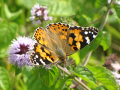 Painted lady on a flower (Wilma1962*) Tags: butterfly ngc vlinder paintedlady watermint distelvlinder vanessacardui watermunt mygearandme mygearandmepremium mygearandmebronze mygearandmesilver mygearandmegold mygearandmeplatinum mygearandmediamond