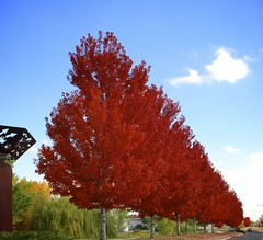Red Sentinels (The Good Brat) Tags: street autumn trees red color look leaves photography photo leaf maple colorado view image scenic foliage maples sentinel sentinels