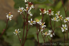 "Saxifrage • <a style=""font-size:0.8em;"" href=""http://www.flickr.com/photos/63501323@N07/7890548994/"" target=""_blank"">View on Flickr</a>"