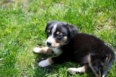 Dala (Thaddz) Tags: dog puppy sennenhund entlebucher entlebuchermountaindog