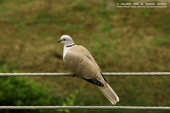 A Collared Dove (Anubhav Kochhar) Tags: bird birds fauna canon photography eos rebel wire kiss zoom pigeon dove pigeons telephoto dslr electricalwire efs doves electricwire t3i x5 anubhav 600d kochhar utilitywire flickraward 55250mm flickrtravelaward soloindiantraveller anubhavkochhar airingbyway