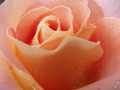 Rose (EmmaBrown_) Tags: pink macro rose peach raindrops organic