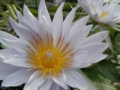ninfea (g.fulvia) Tags: flowers garden fiori botanicalgarden lagomaggiore verbania nymphea ninfea isolamadre acquatiche flickrflorescloseupmacros