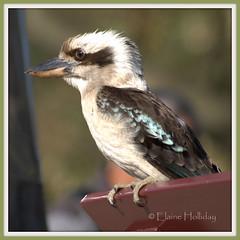 Kookaburra (loobyloo55) Tags: bird fauna canon australia kookaburra animalia australianwildlife canoneos400d allofnatureswildlifelevel1 allofnatureswildlifelevel2