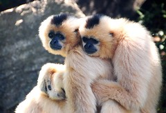 226e give us a hug (jjjj56cp) Tags: nature zoo hugging duo primates cincinnatizoo thegalaxy specanimal allofnatureswildlifelevel1 allofnatureswildlifelevel2 allofnatureswildlifelevel3 allofnatureswildlifelevel4 allofnatureswildlifelevel5 allofnatureswildlifelevel6 jennypansing