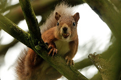 Checking Me Out. (stonefaction) Tags: red nature animals scotland squirrel dundee wildlife camperdown faved