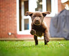 Bob on the Attack (Chris McLoughlin) Tags: puppy 50mm action running a77 chrismcloughlin sonya77