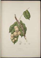 n43_w1150 (BioDivLibrary) Tags: indonesia java belgium handcolored botany 1880 lithograph lanzones langsat graphicmedia missouribotanicalgardenpeterhravenlibrary bhl:page=279879 dc:identifier=httpbiodiversitylibraryorgpage279879