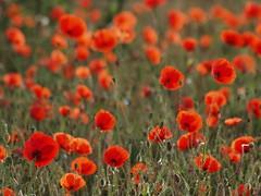 Beauté champêtre ** (Titole) Tags: summer poppies wildflowers été coquelicots friendlychallenges thechallengefactory titole nicolefaton