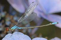 Erythromma viridulum - Small Red-eyed Damselfly (Yagosan) Tags: macro nature closeup insect nikon damselfly odonata d300 smallredeyeddamselfly nikkor105mmmacro erythrommaviridulum nikonsb900speedlight nikonr1closeupspeedlight
