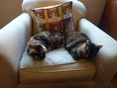 Kayla and Willow in the Chair (Philosopher Queen) Tags: cute chats chair pair fluffy gatos tortoiseshell willow calico kitties tortie kayla
