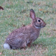 cottontail rabbit (gurdonark) Tags: rabbit bunny texas allen wildlife cottontail landsford glendover