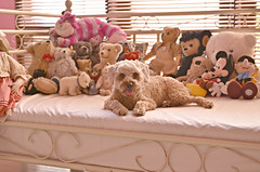but i'm real (girl enchanted) Tags: bear bears disney collection mickeymouse steiff toypoodle toyroom poodlepuppy redpoodle
