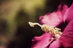 The Space In Between (the fragile.) Tags: pink red flower macro petals stem dof bokeh