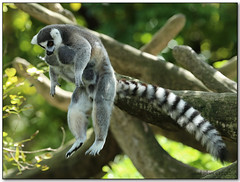 The Mega jump (iCamPix.Net) Tags: animal lemur madagascar exoticanimal 1dx canonmark1dx xmax0794 lemurjump