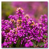 Heather (Simon Bone Photography) Tags: plant flower detail macro nature closeup purple heather magnified sigma105mm carnmarth wwwthehidawaycouk canoneos7d