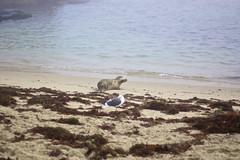 DSC_8415 (rkosec) Tags: ocean seaweed beach nature la sand san seagull diego seal shore jolla