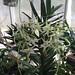 Angraecum flarulentum x Angraecum eburneum - Renate Schmidt