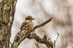 Striped Kinfisher_3260-20151016-Edit (C&P_Pics) Tags: kingfishers kruger pgc skukuzacamp southafrica2015 stripedkinfisher krugerpark mpumalanga southafrica za