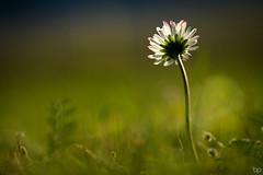 In the sunlight! (Ben Pillen Photography) Tags: blue light sun sunlight flower macro green nature grass canon photography ben bokeh 100mm 100 28 mm asteraceae bellis perennis feeld pillen 1100d benpillen