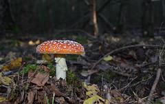 Amanita muscaria (Bjrn O) Tags: amanita muscaria amanitamuscaria fliegenpilz flyagaric wald woods herbst autumn giftpilz toxic pilz pilze mushroom mushrooms makro macro closeup close