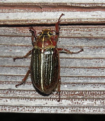 Lined June beetle male (Bug Eric) Tags: animals wildlife nature outdoors insects bugs beetles scarabbeetles scarabaeidae coleoptera male casadesanpedrobb hereford arizona usa linedjunebeetle polyphylla northamerica july262016