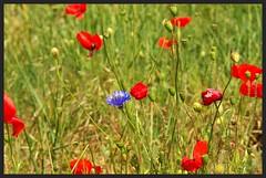 Bleuet et Coquelicots IMGP6123 (robert.fr.22) Tags: bleuets coquelicots fleurs flore montagnacmontpezat alpesdehauteprovence